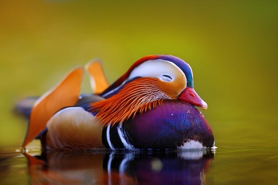 Mandarin Duck2